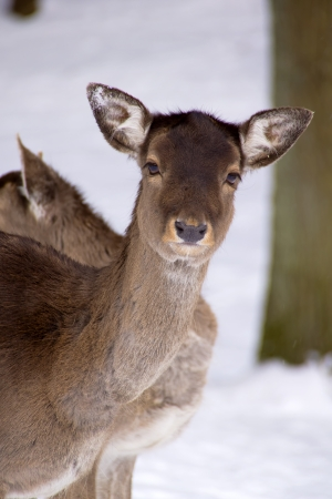 Fallow deer - The fallow deer looks curiously at the camera   Stock Photo