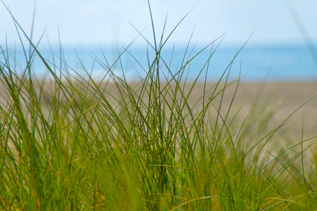 Marram grass - In the foreground green dune grass, and in the background blured the North Sea. photo