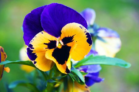 spermatophyte: African violet - An African violet in the spring