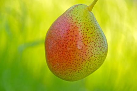 A sun-ripened Pear - A sun-ripened juicy pear
