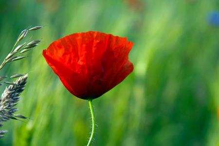 Red Poppy - A red poppy on a green field