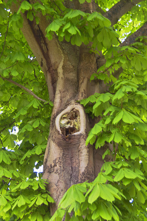 Chestnut tree - A close-up of a chestnut tree.