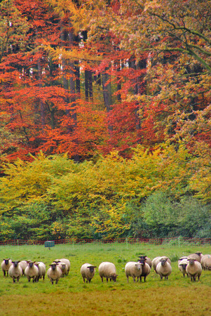 idylle: Flock of sheep - A flock of sheep in front of an autumn forest   Stock Photo