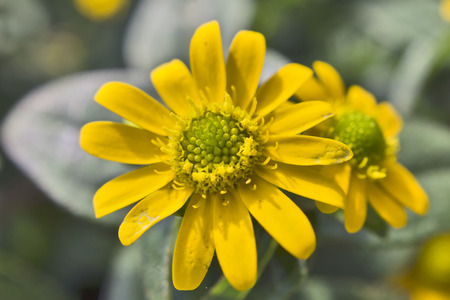 Mexican creeping zinnia - Yellow Summer Flowers in a balcony box.