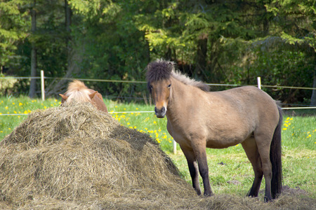 Iceland Pony - Two Iceland horses in a paddock next to a big haystack.