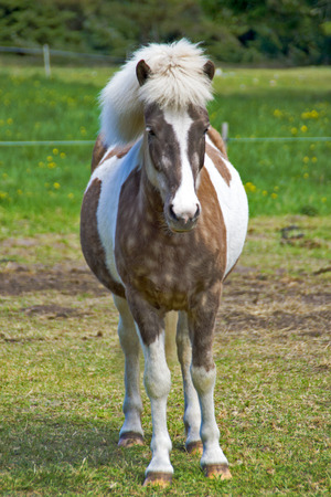 Iceland Pony - A little Iceland pony with lush mane on a meadow. Stock Photo