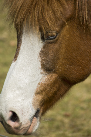 Pony - The head of an Iceland horse.
