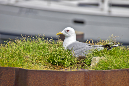 nesting: Nesting seagull - A seagull is nesting in a Harbor Area.