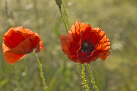 Red Poppies - A field with red poppies. Stock Photo