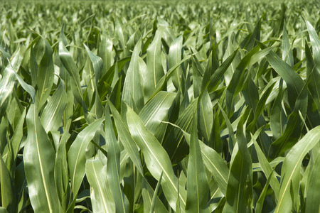 Cornfield - A green cornfield at a sunny summer day. Stock Photo