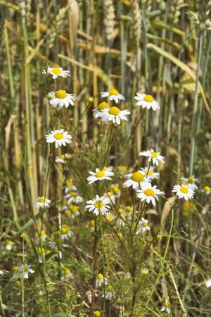 matricaria recutita: Camomilla - selvatici che crescono fiori di camomilla. Archivio Fotografico