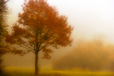 Tree in fog - A tree in the autumn manure. Scrim diffuse.