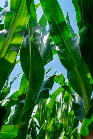 A corn field from the worms eye view
