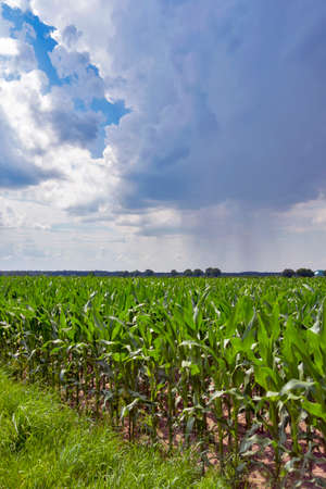 A cornfield and rainy storm clouds