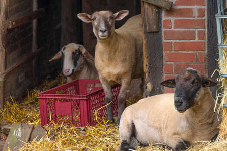 Three sheep in a stable