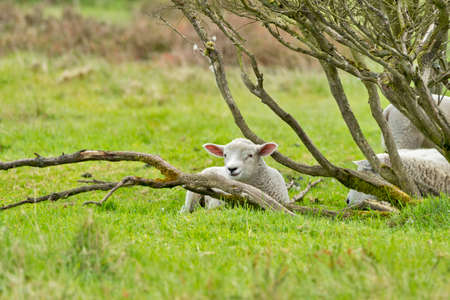 A lamb on a green meadow