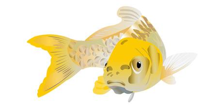 koi pond: Koi Carp Yellow Ogon Illustration