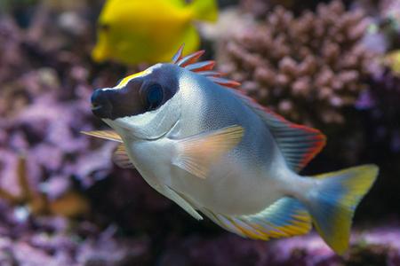 fishtank: Foxface fish