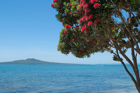 Pohutukawa tree in bloom with Rangitoto Island on the background Stock fotó