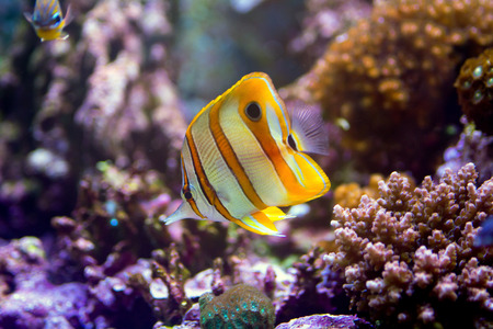 chelmon: Copper band butterfly fish