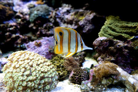 copperband butterflyfish: Copper band butterfly fish