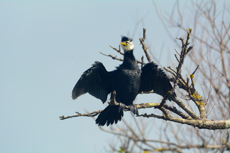 Pied Shag Cormorant drying wings in the sun