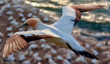 wingspan: Gannet in flight over bird colony Stock Photo
