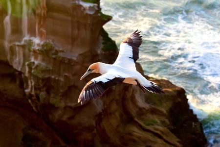 boobies: Gannet in flight