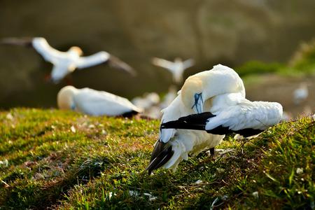 boobies: Gannet bird colony.