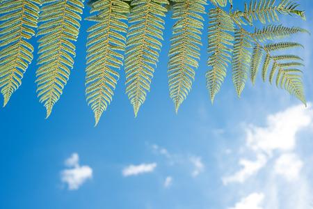 silver fern: Silver fern fronds Stock Photo