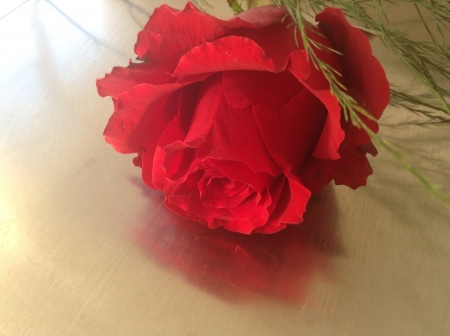 reflective: Reflective red rose