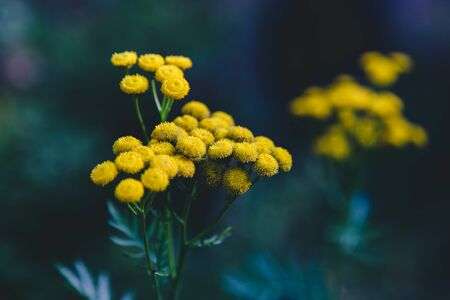 Herbaceous plant tansy on green background. Copy space. Concept nature, treatment plant.