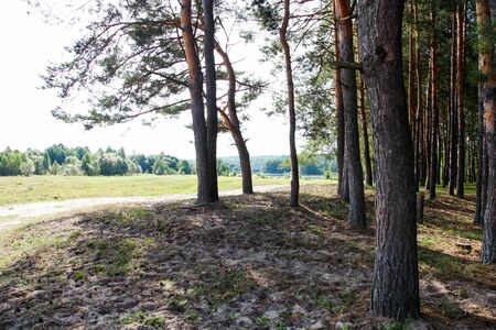 Lawn in pine forest on sunny summer day. Concept wildlife, environment.