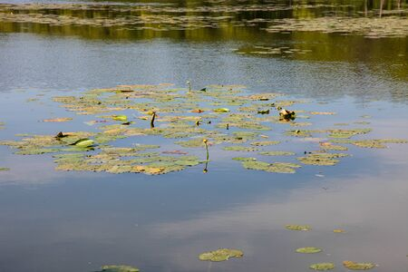 River with water lilies. Concept nature, environment.