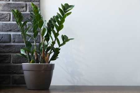 Zamioculcas growing in flower pot on wooden table on gray background. Concept home plant. Copy space.