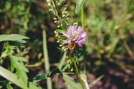 Working bee pollinates purple flower. Clothe-up, copy space. 免版税图像