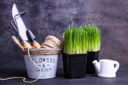 Sprouted wheat grass in pots and garden tools on a black background.