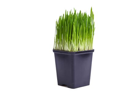 Sprouted wheat grass in a pot isolated on a white background.