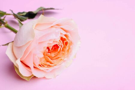 Pink hybrid tea rose on a pink background. 스톡 콘텐츠
