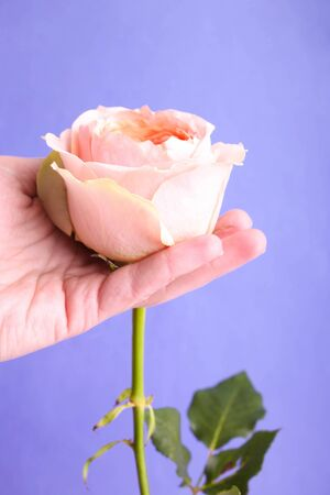 Pink hybrid tea rose in a female hand on a blue background.