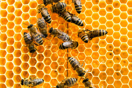 Golden honeycomb with bees in an apiary close-up. Apiculture. Archivio Fotografico