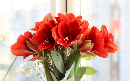 Amazing bouquet of red hippeastrums on the windowsill