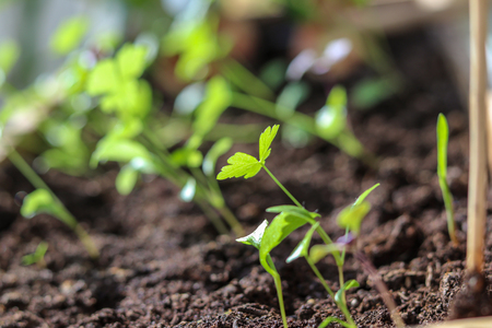Young spring sprouts of parsley in the box on sunny windowsill, blurred background Stock Photo