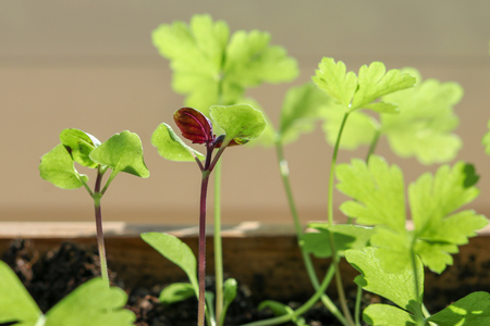 Young spring sprouts of purple basil and parsley in wooden box on sunny windowsill.