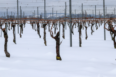 Snow on winter vineyards in Nyon, Switzerland