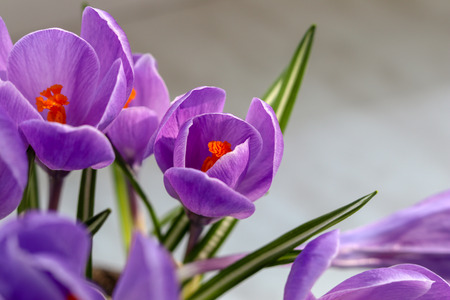Blooming violet crocuses on grey background, close-up. The first spring flowers