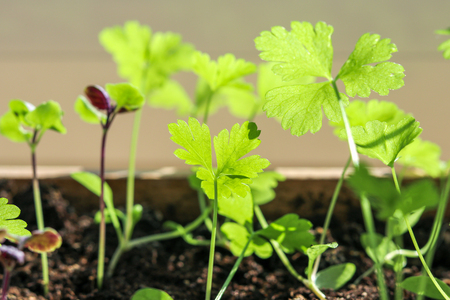 Seeding of parsley and basil in wooden box on sunny windowsill. Young spring sprouts on a window sill. Stock Photo