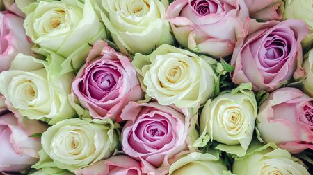 Floral background of close-up white and dusty pink roses. Long banner. Top view.