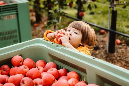 Cute little boy eating apple took it from the box full of red apples picked up in garden. Fruit harvest. Autumn season lifestyle. Homegrown organic fresh vitamins.