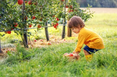 Little toddler boy holding wooden box with red apples in apple garden trying to lift it up. Harvesting fruit. Autumn season lifestyle.